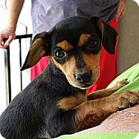 Adopt A Pet :: Bean - Norwalk, CA