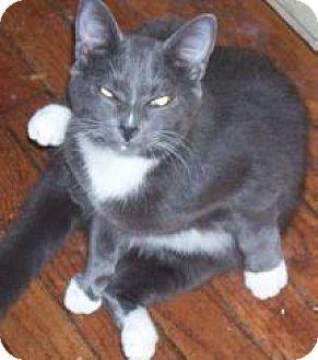 Domestic Shorthair Cat for adoption in Salisbury, North Carolina - Blue Boy