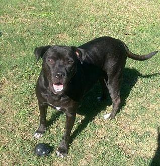 American Staffordshire Terrier/Labrador Retriever Mix Dog for adoption in San Antonio, Texas - Hope