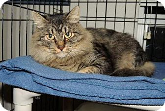 Maine Coon Cat for adoption in Long Beach, Washington - Sylvia