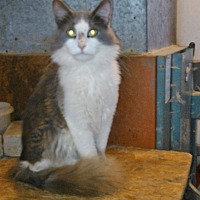Domestic Mediumhair Cat for adoption in Chapman Mills, Ottawa, Ontario - GEORGIE