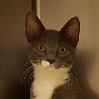 Domestic Shorthair Cat for adoption in Lago Vista, Texas - Bethany