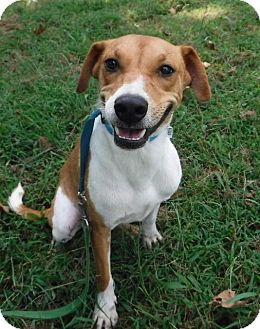 Labrador Retriever/Terrier (Unknown Type, Small) Mix Dog for adoption in Batesville, Arkansas - Mitch