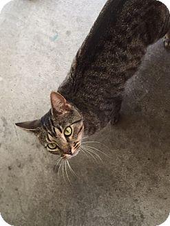 Domestic Shorthair Cat for adoption in Hazard, Kentucky - Luna