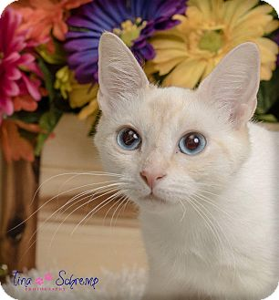 American Shorthair Cat for adoption in Big Canoe, Georgia - Snow White
