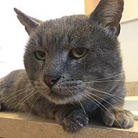 Adopt A Pet :: Felix - Saint Clair, MO