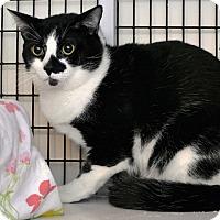 Adopt A Pet :: Domino - Victor, NY