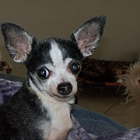 Adopt A Pet :: Stinky - Apache Junction, AZ