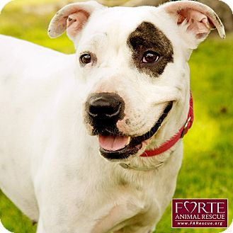 American Staffordshire Terrier/Pointer Mix Dog for adoption in Marina del Rey, California - Kimmie