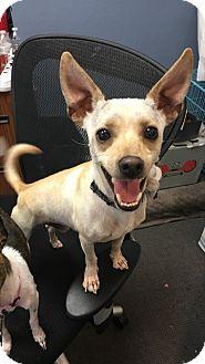 Greyhound/Chihuahua Mix Dog for adoption in Las Vegas, Nevada - Paul Anka