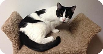 Domestic Shorthair Cat for adoption in River Edge, New Jersey - Lyanna