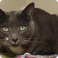 Adopt A Pet :: Bella Blue - Fort Collins, CO