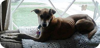 Whippet/Shepherd (Unknown Type) Mix Dog for adoption in North Olmsted, Ohio - Bella-Courtesy Post