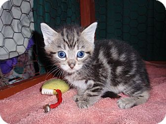 Domestic Shorthair Kitten for adoption in East Brunswick, New Jersey - Crumb