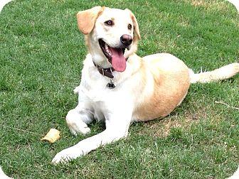 Labrador Retriever Dog for adoption in Somers, Connecticut - Raaco