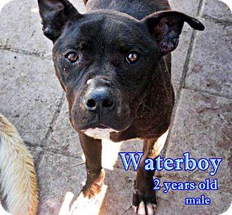 English Bulldog/Labrador Retriever Mix Dog for adoption in Boaz, Alabama - Waterboy