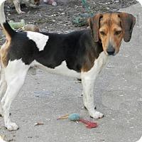 Adopt A Pet :: Bingo - Palm Bay, FL