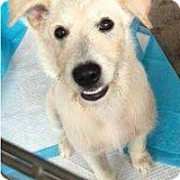 Adopt A Pet :: Airedale Boy - Pompton Lakes, NJ