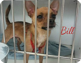 Chihuahua Dog for adoption in House Springs, Missouri - Bill