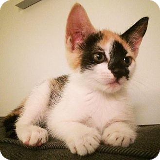Domestic Shorthair Kitten for adoption in Brooklyn, New York - Rosie