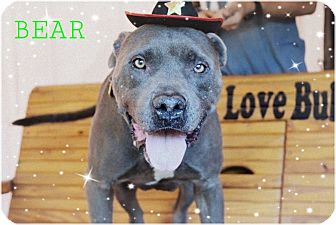 American Pit Bull Terrier/Cane Corso Mix Dog for adoption in Calgary, Alberta - Bear**Courtesy Post**