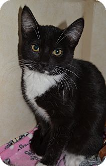 Domestic Shorthair Kitten for adoption in Michigan City, Indiana - Kris