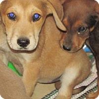 Adopt A Pet :: Shakira - Rocky Mount, NC
