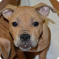 Adopt A Pet :: Rucker (Puppy) - Northville, MI