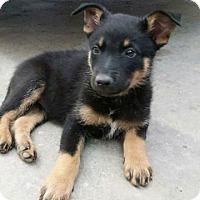 Adopt A Pet :: Louie Lou - Little Rock, AR