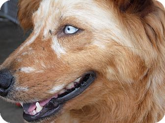 Australian Shepherd Mix Dog for adoption in La Crosse, Wisconsin - Brina