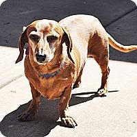 Adopt A Pet :: Schnitzel - San Jose, CA