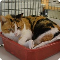 Calico Cat for adoption in East Smithfield, Pennsylvania - Flicka