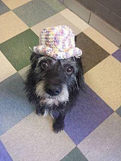 Terrier (Unknown Type, Medium) Mix Dog for adoption in Kansas City, Missouri - Monte