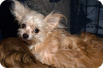 Yorkie, Yorkshire Terrier Mix Dog for adoption in Westfield, Indiana - Trixie