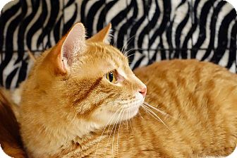 Maine Coon Cat for adoption in College Station, Texas - Sean