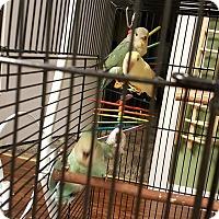 Adopt A Pet :: Zelda - Lenexa, KS