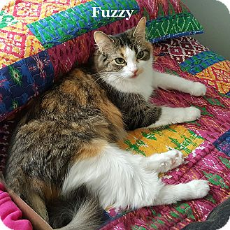 Calico Cat for adoption in Bentonville, Arkansas - Fuzzy