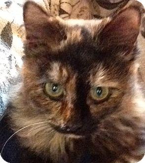 Calico Kitten for adoption in Eureka, California - Tess
