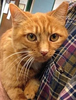 Domestic Shorthair Cat for adoption in Anderson, Indiana - Novalie