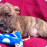 Adopt A Pet :: Wyatt - Boston, MA