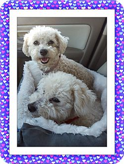 Bichon Frise Dog for adoption in Tulsa, Oklahoma - Adopted!! Max and Maggie - OK