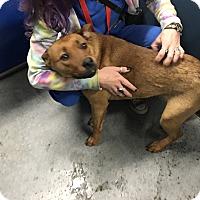 Adopt A Pet :: Cai Cai (HW Neg) - Henderson, NC