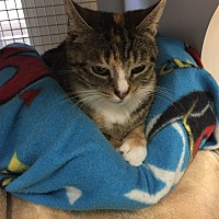 Domestic Shorthair Cat for adoption in Islip, New York - Darla