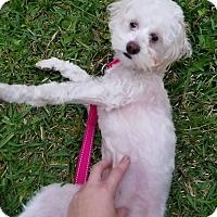 Adopt A Pet :: Tempie - Houston, TX