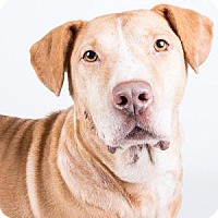 Adopt A Pet :: Puck - Decatur, GA