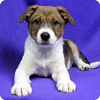Adopt A Pet :: Kadin - Westminster, CO