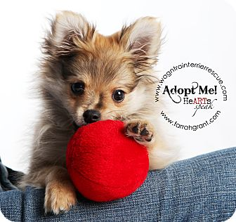 Pomeranian Puppy for adoption in Omaha, Nebraska - Kippy