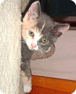 Russian Blue Kitten for adoption in Escondido, California - Lexi