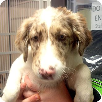 Australian Shepherd Mix Puppy for adoption in Greencastle, North Carolina - Passion