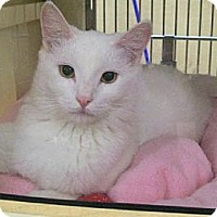 Domestic Shorthair Cat for adoption in Los Angeles, California - Angel